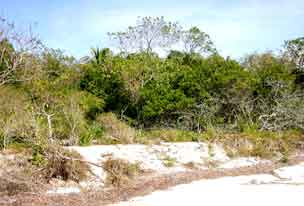 Gopher tortoise habitat on Middle Cape Sable, Everglades National Park before 2005 hurricanes.