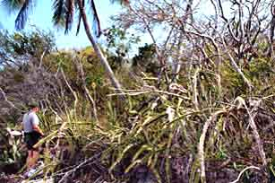 Twin Palms area Middle Cape, Everglades National Park before 2005 hurricanes.