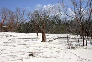 Trees buried in deep sand deposits on Cape Sable, Everglades National Park after 2005 hurricanes.