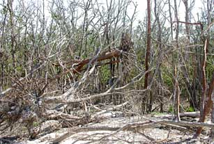 Uprooted gumbo limbo caught in downed buttonwood on Cape Sable, Everglades National Park after 2005 hurricanes.