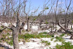 Stumps of snapped black mangroves on Cape Sable, Everglades National Park after 2005 hurricanes.