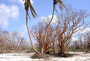 Twin Palms area Middle Cape, Everglades National Park after 2005 hurricanes.