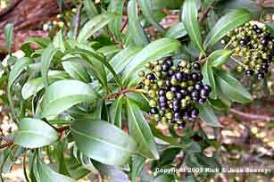 Marlberry, Ardisia escallonioides, leaves and fruit.